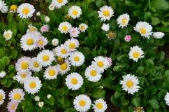 ενάντια στον μπλε ουρανό λουλουδιών μαργαριτών κίτρινο Στοκ Εικόνες