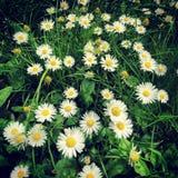 ενάντια στον μπλε ουρανό λουλουδιών μαργαριτών κίτρινο Στοκ φωτογραφίες με δικαίωμα ελεύθερης χρήσης