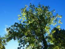 ενάντια στο δέντρο ουραν&omic Στοκ Εικόνα