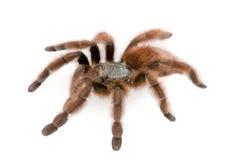 ενάντια στο λευκό tarantula ανασ& Στοκ Φωτογραφία