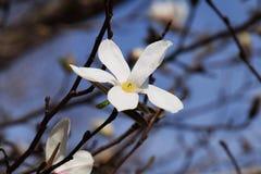 ενάντια στο μπλε λευκό δέντρων ουρανού magnolia kobus λουλουδιών ανθίσματος Στοκ εικόνα με δικαίωμα ελεύθερης χρήσης