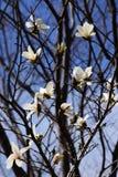ενάντια στο μπλε λευκό δέντρων ουρανού magnolia kobus λουλουδιών ανθίσματος Στοκ εικόνες με δικαίωμα ελεύθερης χρήσης