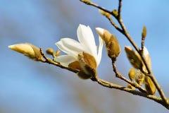 ενάντια στο μπλε λευκό δέντρων ουρανού magnolia kobus λουλουδιών ανθίσματος Στοκ Φωτογραφίες