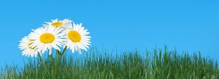 ενάντια στο φυσικό ουρανό χλόης camomiles στοκ εικόνα