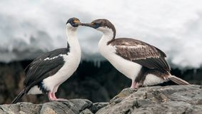 Ενήλικα και νεανικά ανταρκτικά Shags, ανταρκτική χερσόνησος στοκ φωτογραφία με δικαίωμα ελεύθερης χρήσης