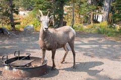 Ενήλικα πρόβατα Bighorn στο campground στην περιοχή λιμνών δύο φαρμάκων στο εθνικό πάρκο παγετώνων στη Μοντάνα ΗΠΑ Στοκ φωτογραφία με δικαίωμα ελεύθερης χρήσης
