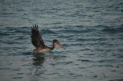 Ενήλικα πτηνά που προσγειώνονται στα νερά Aruban Στοκ Φωτογραφίες