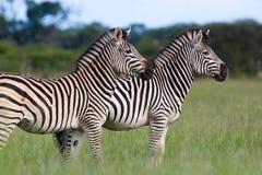 ενήλικα δύο zebras Στοκ Εικόνα