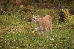 Ενήλικες αρσενικές στάσεις concolor Cougar Puma στο έδαφος που φαίνεται αριστερό Στοκ φωτογραφία με δικαίωμα ελεύθερης χρήσης