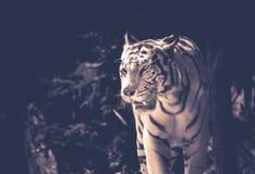 ενήλικη άσπρη τίγρη μόνο στη γραπτή στάση τριών τετάρτων το καλοκαίρι στοκ φωτογραφία με δικαίωμα ελεύθερης χρήσης