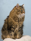 ενήλικη γάτα coon Maine Στοκ Φωτογραφίες