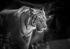 ενήλικη τίγρη γραπτό να κοιτάξει επίμονα με προσήλωση στοκ φωτογραφία με δικαίωμα ελεύθερης χρήσης
