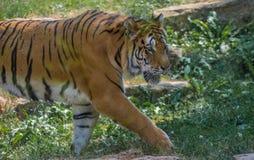 ενήλικη τίγρη μόνο στενό στον επάνω ζωολογικών κήπων το καλοκαίρι στο μόνιμο περπάτημα χρώματος στοκ εικόνα με δικαίωμα ελεύθερης χρήσης