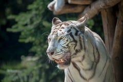 ενήλικη τίγρη μόνο στο χρώμα στο ζωολογικό κήπο το καλοκαίρι στοκ φωτογραφίες με δικαίωμα ελεύθερης χρήσης