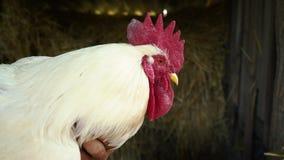 Ενήλικος άσπρος κόκκορας με μια κόκκινη χτένα κοντά στο αγρόκτημα Ένας κόκκορας είναι στα χέρια ενός αγρότη απόθεμα βίντεο