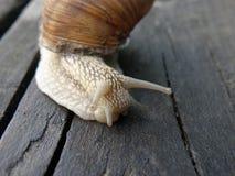 Ενήλικος αργός στενός επάνω προσώπου σαλιγκαριών στοκ εικόνα με δικαίωμα ελεύθερης χρήσης