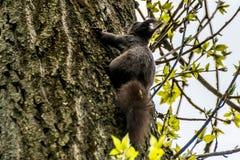 Ενήλικος σκίουρος σε έναν φλοιό δέντρων στοκ εικόνα με δικαίωμα ελεύθερης χρήσης