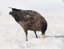 Ενήλικο ανταρκτικό Skua που τρώει το αυγό Gentoo Penguin, ανταρκτική χερσόνησος στοκ φωτογραφίες