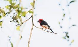 Ενήλικο αρσενικό φωτεινό κόκκινο πορφυρό Flycatcher Pyrocephalus rubinus που σκαρφαλώνει σε έναν κλάδο Στοκ εικόνα με δικαίωμα ελεύθερης χρήσης