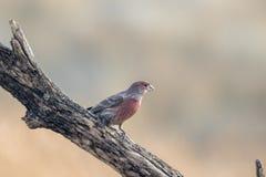 Ενήλικο αρσενικό Finch σπιτιών που σκαρφαλώνει σε έναν κλάδο Στοκ Φωτογραφία