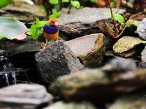ενήλικο διευθυνμένο πουλί αρσενικό κόκκινο Στοκ φωτογραφία με δικαίωμα ελεύθερης χρήσης
