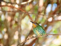 ενήλικο θηλυκό πουλιών honeycreeper Στοκ φωτογραφίες με δικαίωμα ελεύθερης χρήσης
