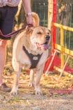 Ενήλικο σκυλί Sharpei στοκ φωτογραφία με δικαίωμα ελεύθερης χρήσης