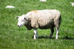 ενήλικα πρόβατα Στοκ εικόνες με δικαίωμα ελεύθερης χρήσης