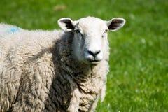 ενήλικα πρόβατα Στοκ Εικόνες