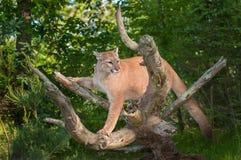 Ενήλικες θηλυκές ισορροπίες Cougar (concolor Puma) Στοκ Εικόνες