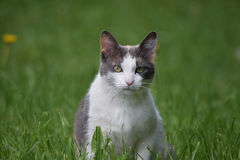 Ενήλικη γάτα στον τομέα Στοκ φωτογραφίες με δικαίωμα ελεύθερης χρήσης