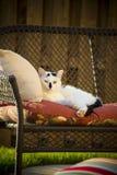 Ενήλικη γραπτή εσωτερική κοντή άγρια περιπλανώμενη γάτα τρίχας που βάζει στον καναπέ στο κατώφλι Στοκ εικόνα με δικαίωμα ελεύθερης χρήσης
