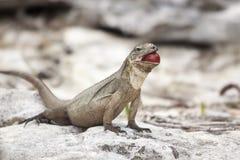 Ενήλικη καφετιά συνεδρίαση Iguana στο βράχο που εξετάζει τη κάμερα που τρώει το σταφύλι Στοκ Φωτογραφία