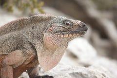 Ενήλικη καφετιά συνεδρίαση Iguana στο βράχο που εξετάζει τη κάμερα Στοκ Φωτογραφία