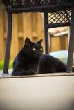 Ενήλικη μαύρη εσωτερική κοντή περιπλανώμενη άγρια γάτα τρίχας που βάζει σε Patio κάτω από την έδρα Στοκ Εικόνες