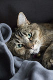 Ενήλικη ριγωτή γάτα τρίχας βαμβακερού υφάσματος εσωτερική κοντή που βάζει στο κάλυμμα που εξετάζει τη κάμερα Στοκ Εικόνες