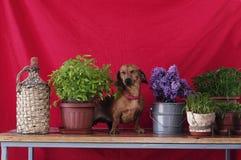 Ενήλικη συνεδρίαση φυλής σκυλιών dachshund σε έναν ξύλινο πίνακα δίπλα σε ένα va Στοκ Φωτογραφία