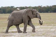Ενήλικος αρσενικός ελέφαντας που περπατά στην αφρικανική σαβάνα με το άσπρο πουλί στην πλάτη Στοκ Εικόνα