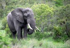 Ενήλικος αρσενικός ελέφαντας σε Botsvana Στοκ φωτογραφία με δικαίωμα ελεύθερης χρήσης
