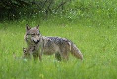 Ενήλικος λύκος με το κουτάβι κογιότ στην πράσινη χλόη Στοκ φωτογραφίες με δικαίωμα ελεύθερης χρήσης