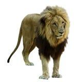 ενήλικο αρσενικό λιοντα Απομονωμένος στο λευκό στοκ εικόνες με δικαίωμα ελεύθερης χρήσης