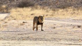Ενήλικο αρσενικό περπάτημα λιονταριών απόθεμα βίντεο