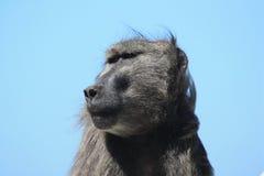 Ενήλικο αρσενικό baboon κοιτάζει προς το μπλε ουρανό, Στοκ εικόνες με δικαίωμα ελεύθερης χρήσης