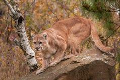 Ενήλικο αρσενικό Cougar (concolor Puma) έτοιμο να επιτεθεί ξαφνικά Στοκ φωτογραφία με δικαίωμα ελεύθερης χρήσης