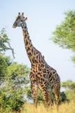 Ενήλικο αρσενικό giraffe Masai tippleskirchi Giraffa Στοκ Φωτογραφία
