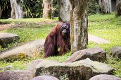 Ενήλικο αρσενικό orangutan του Μπόρνεο του pygmaeus Pongo Στοκ Εικόνα