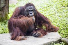 Ενήλικο αρσενικό orangutan του Μπόρνεο του pygmaeus Pongo Στοκ Φωτογραφία