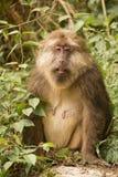 Ενήλικο θηλυκό θιβετιανό Macaque  Στοκ εικόνα με δικαίωμα ελεύθερης χρήσης