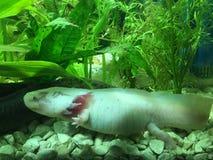 Ενήλικο θηλυκό Leucistic axolotl Στοκ Εικόνα