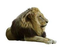 Ενήλικο λιοντάρι Απομονωμένος στο λευκό στοκ εικόνα με δικαίωμα ελεύθερης χρήσης